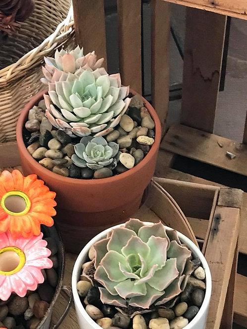 zen succulent garden