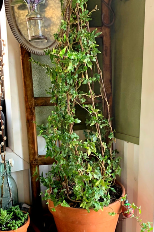 english ivy cone topiary