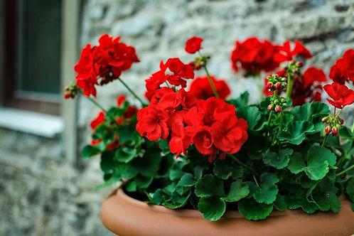 vivid geranium