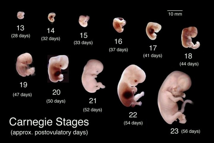 Development of the Fetus