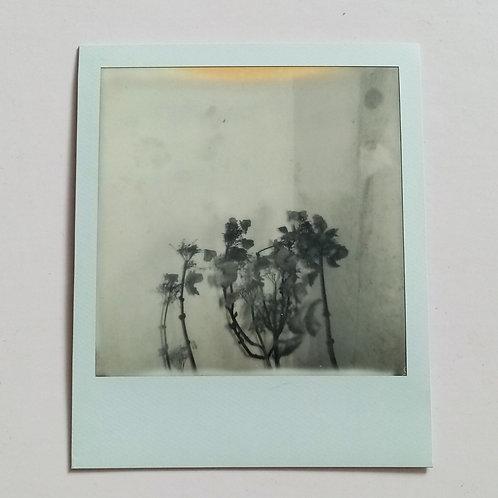 Hydrenga 3 Polaroid B+W