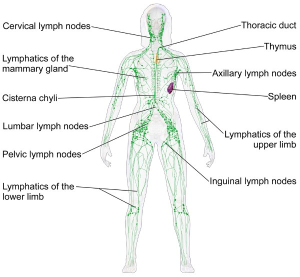 This is a diagram of the human lymphatic system.