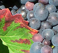 CERTIFICATION OEA - Wine & Spirits - vins et spiritueux - vigne Pinot noir.jpg