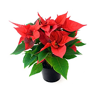 poinsettia-dot.png