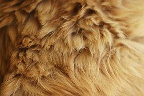 golden fur texture.jpg