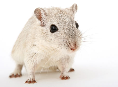 eliminar-ratones-espantar-ratones-contro