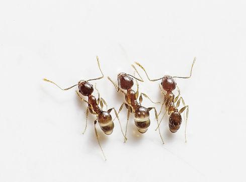 control-de-hormigas-eliminar-hormigas-fu