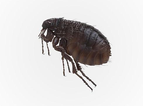 eliminacion-de-pulgas-control-de-plagas-