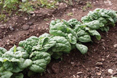 Peas / Spinach, Hammerhead