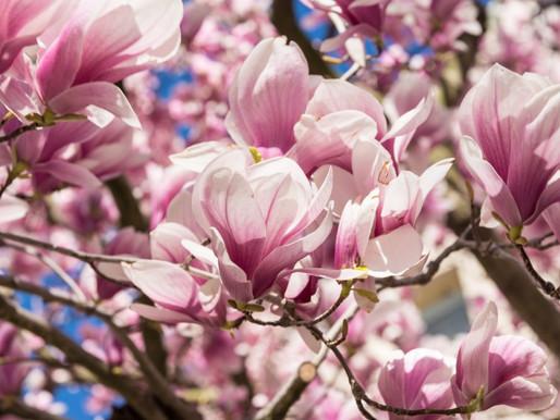 """Magnolia x Soulangiana Trees aka  """"Saucer Magnolia"""""""