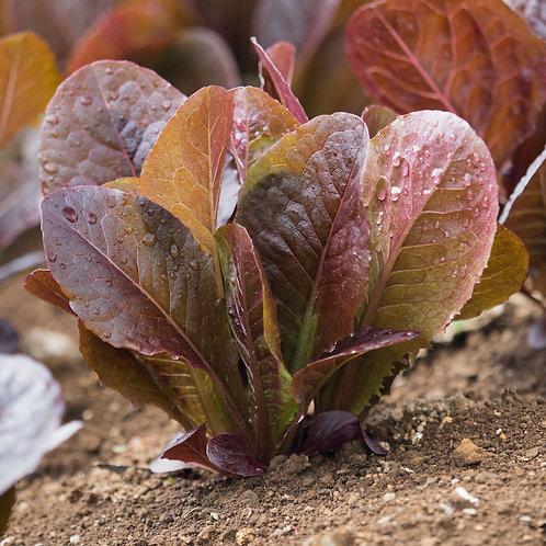 Lettuce / Romaine Red