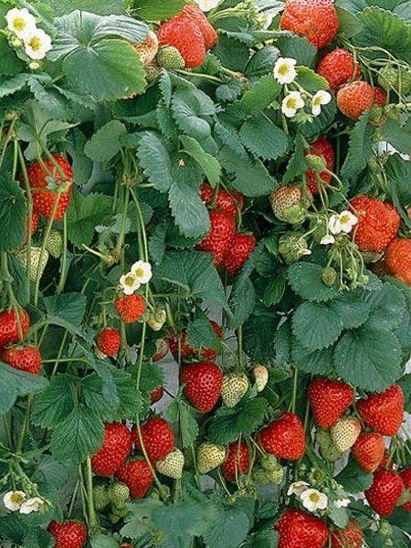 Strawberry / Mara des bois