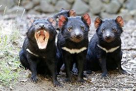 tasmanian devils.jpg