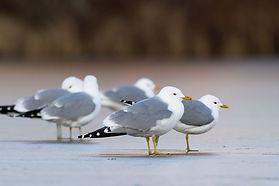 Common gull.jpg