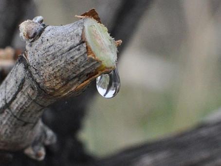 ぶどう樹の涙 Pleurs de la vigne