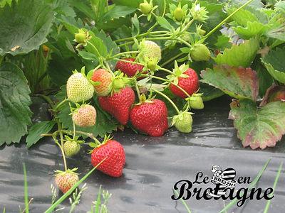 Douceurs du terroir : la fraise de Plougastel
