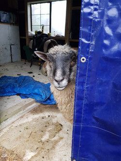 Basil the Sheep