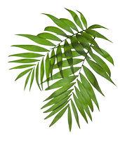 Palmiye Ağacı Yaprakları