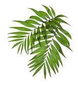 Palmy Liście