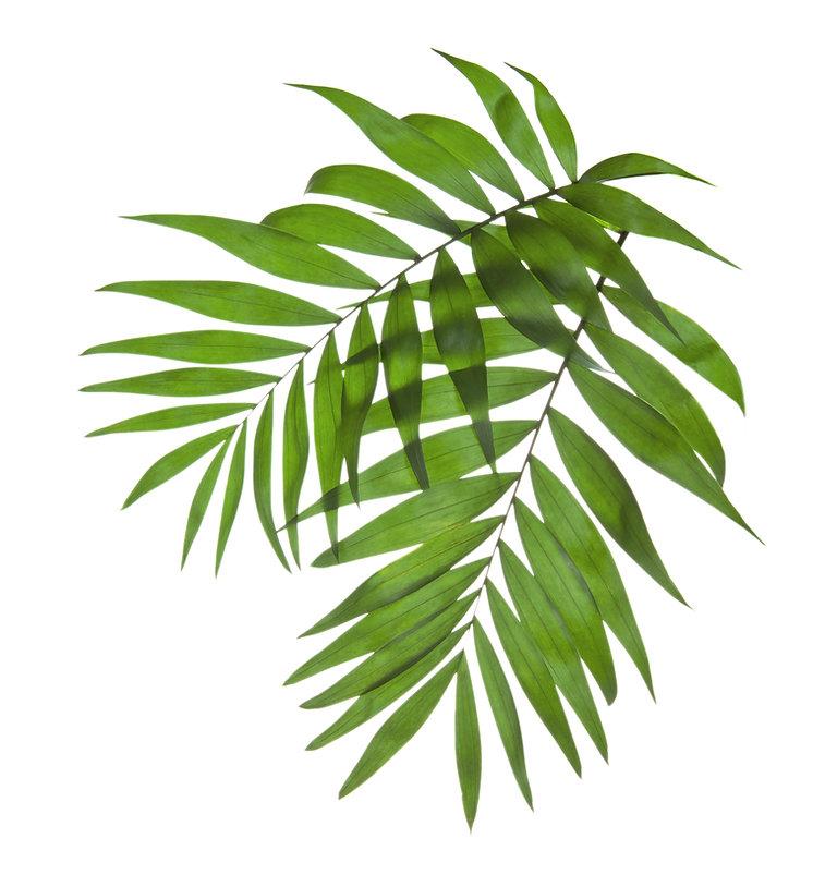 Palm-Baum-Blätter