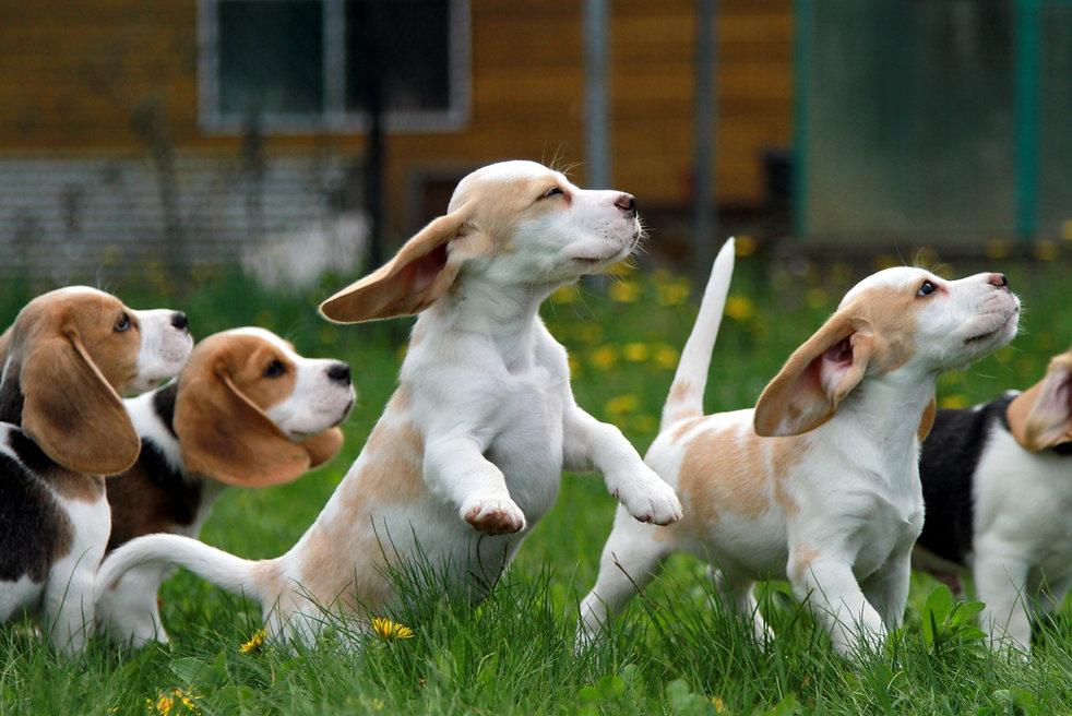 веселые щенки бигль