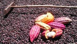 Grenada cocoa