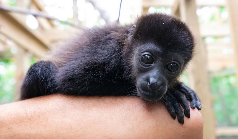 Urraca-Panama-Private-Islands-tour-package-all-inclusive-black-monkey.png