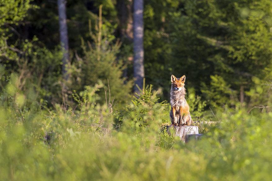 red-fox-4808560.jpg