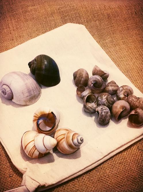 Land Snail Shell Assortment