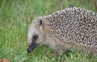 Hedgehog.webp