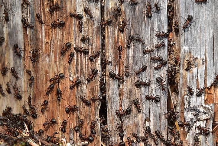 Ants_Heart