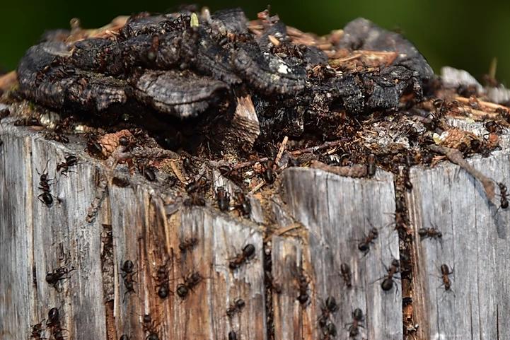 Ants_Snake