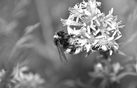 Bee_black_and_withe.webp