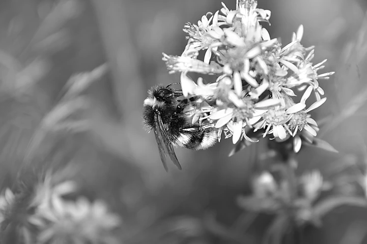 Bee_black_and_withe