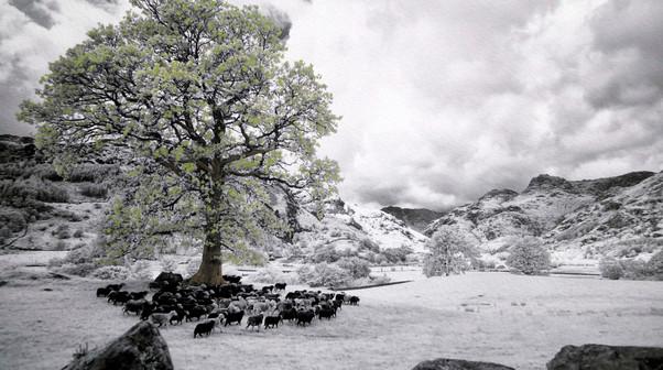 HERDWICK SHEEP LANGDALE VALLEY 65 X 49 CM HAND COLOURED INFRARED JDIGITAL PHOTO 2014.jpg