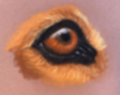 Beagle-eye.jpg