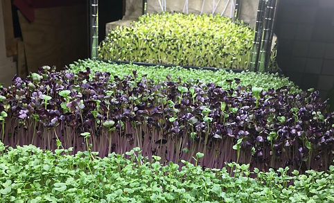 Microgreens in the vertical garden.