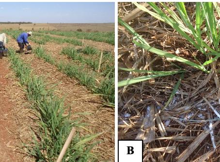 A palhada da cana-de-açúcar e o N-fertilizante