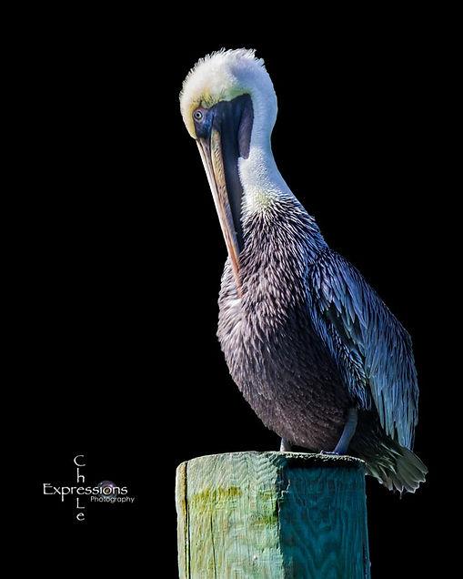 Sitting Pelican in the Keys