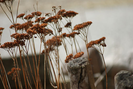 Dried wild flowers - Seven Ponds Nature Center