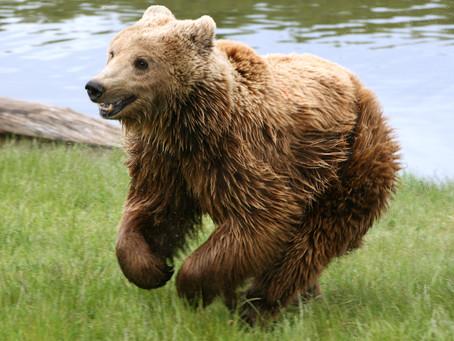 Maltrattati e sfruttati al circo, tre orsi sono stati salvati e trasferiti al Parco d'Abruzzo