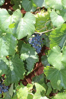 Hope in Motion Grapes.jpg