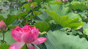 唐比 ハスの花見物☆