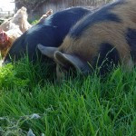 Feed conversion ratio for pigs
