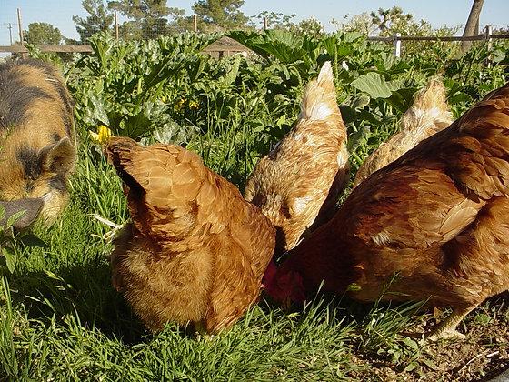1 Autumn Chicken