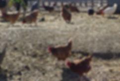 Organic Free-Range Poultry