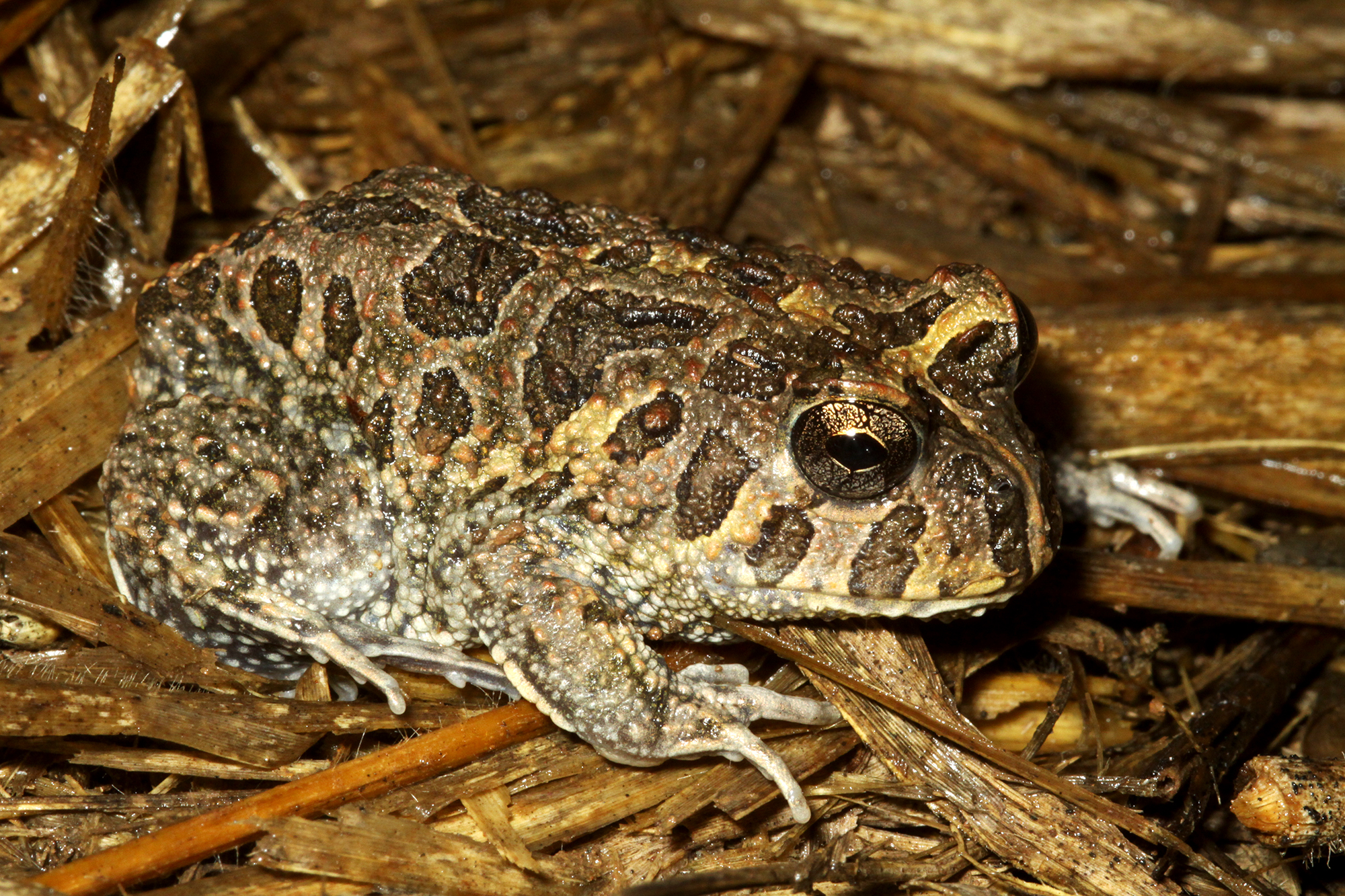 Odontophrynus americanus.jpg