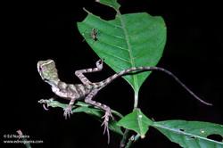 Enyalius catenatus 3 s.jpg