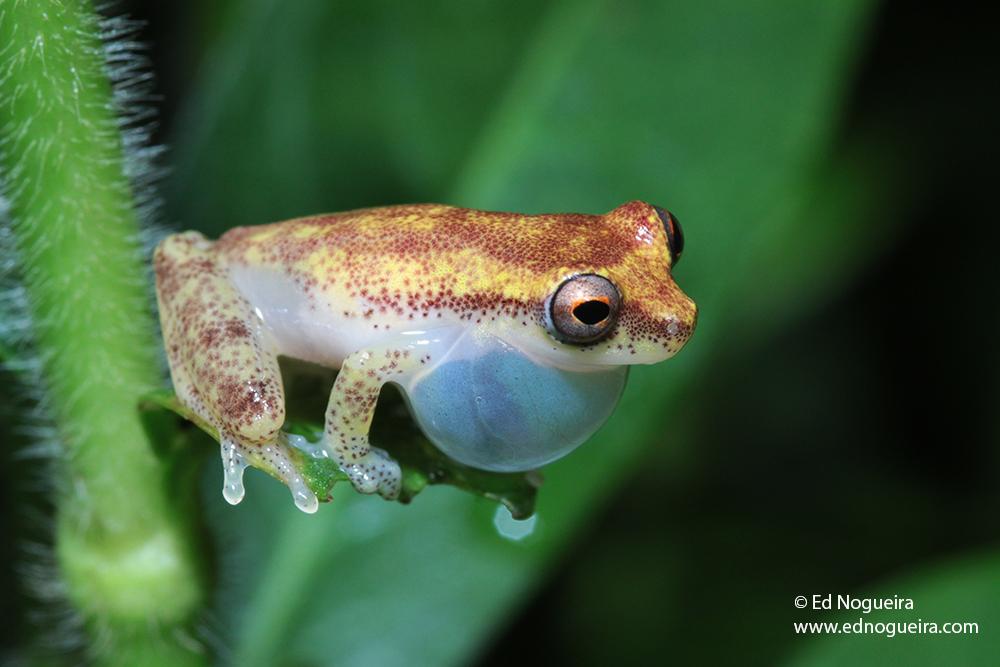 Dendropsophus haddadi s.jpg