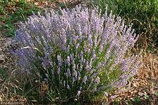 Lavande, Provence, Vaucluse, Mont Ventoux